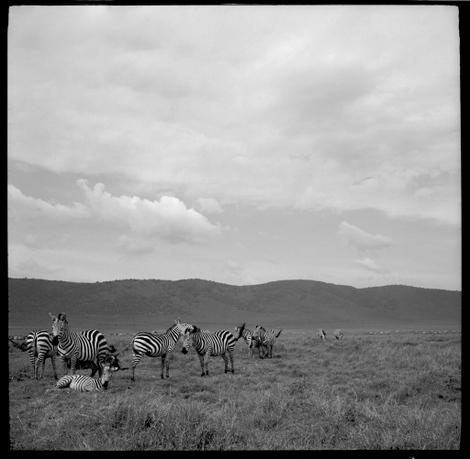 Ngorongoro_zebras_01